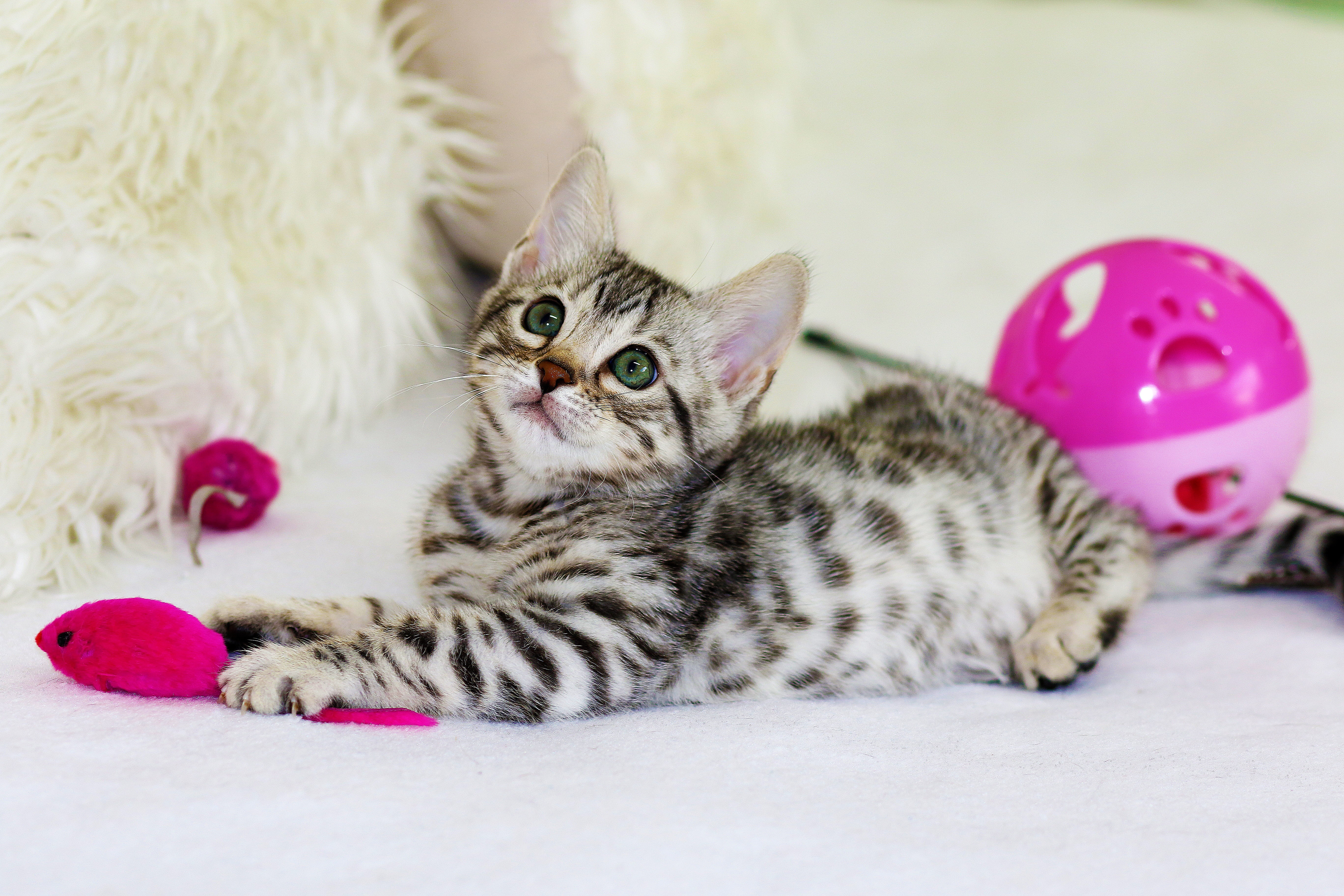 A kitten playing with toys from a pet supplies store in Baltimore.