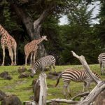 Giraffes and zebras eating grass at a zoo.