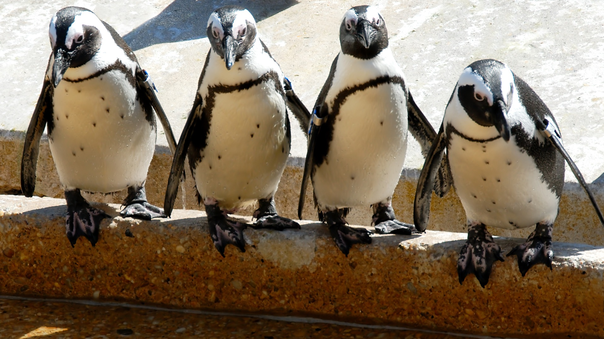 Four penguins at the Maryland Zoo